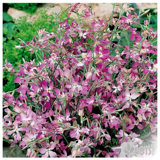 night scented stock seeds