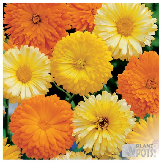 calendula art shades mixed seeds