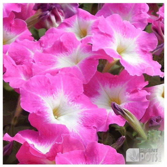 petunia merlin mix f1 seeds