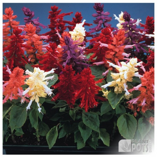 salvia sizzler mixed seeds