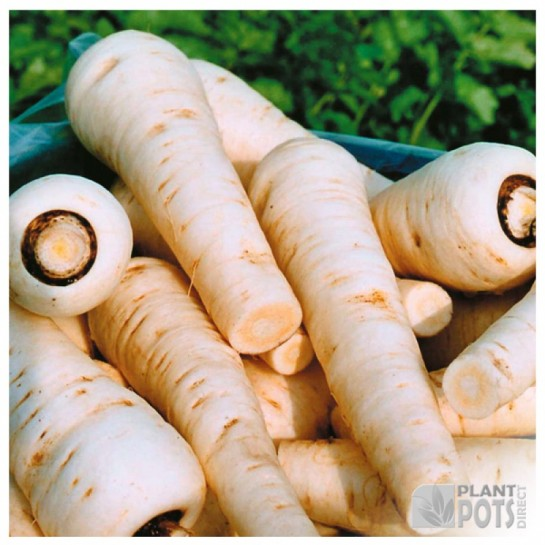 parsnip countess f1 seeds