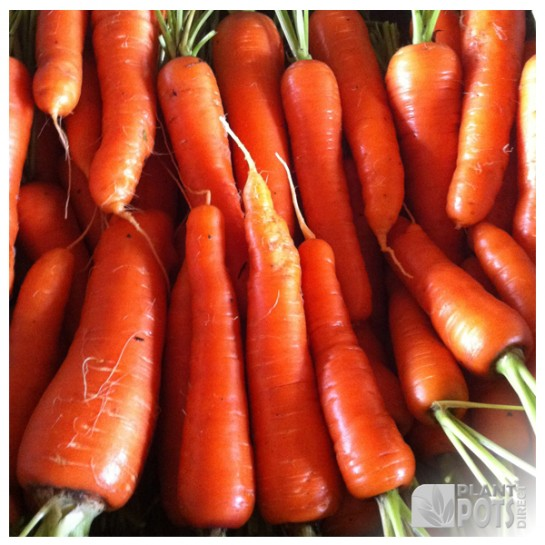 carrot chantenay red cored seeds