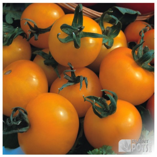 tomato golden sunrise seeds