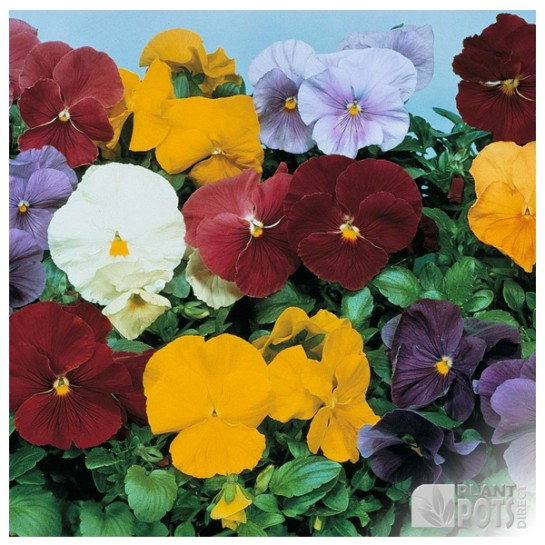 pansy clear crystals mixed seeds