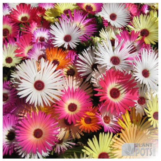 mesembryanthemum sunshine mix seeds