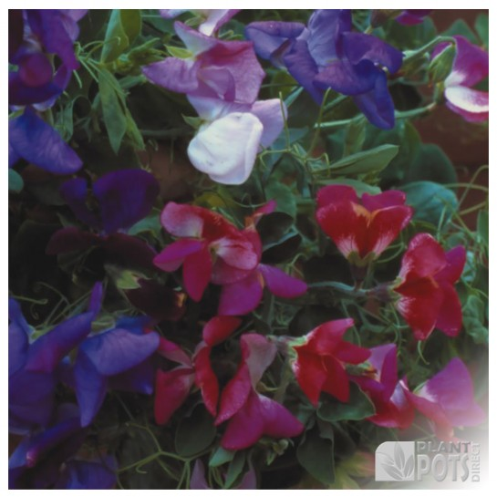 sweet pea spencer waved mixed seeds
