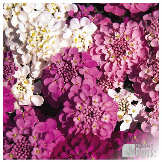 candytuft sprangles seeds