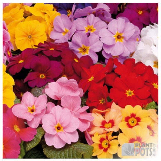 primrose mardigras mixed seeds