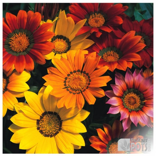 gazania splendens mixed seeds
