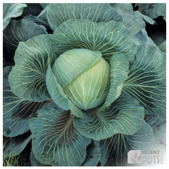 cabbage f1 kilaton seeds