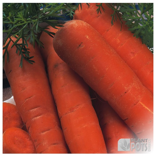carrot autumn king seeds