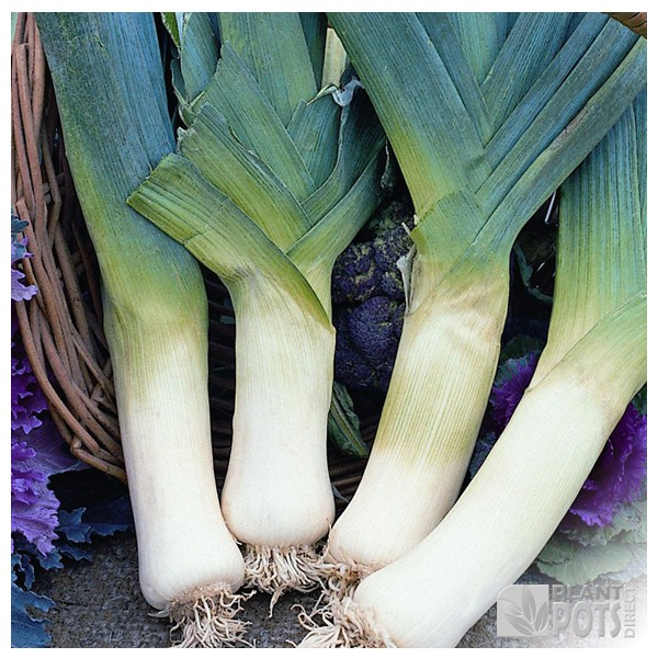 leek giant winter seeds