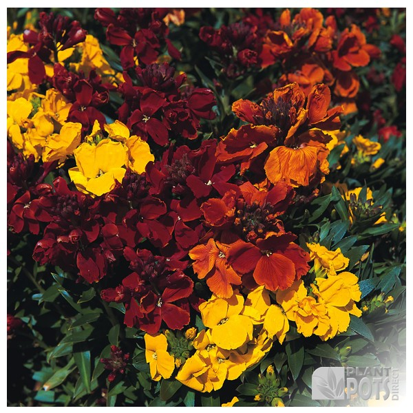 wallflower tom thumb mixed seeds