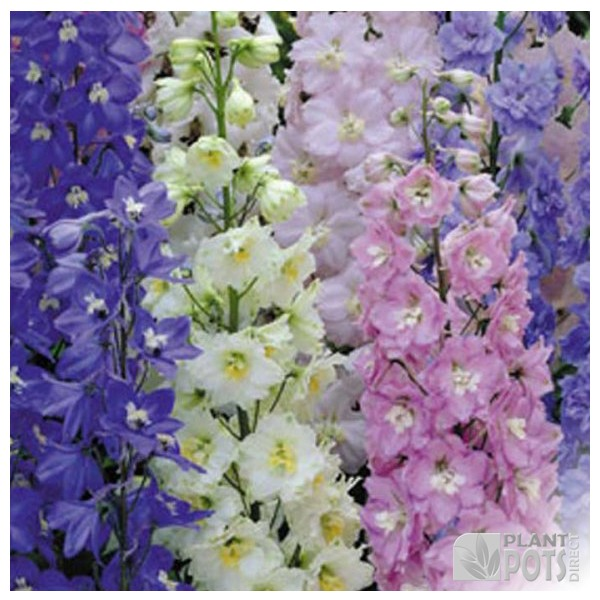 delphinium pacific giants mixed seeds