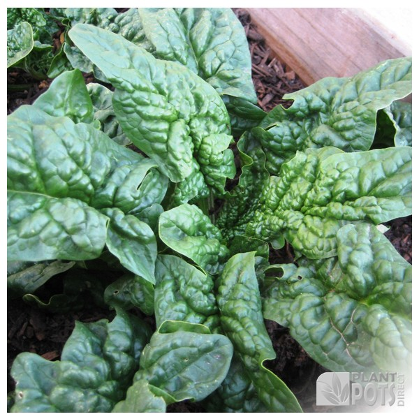 spinach summer round bloomsdale seeds