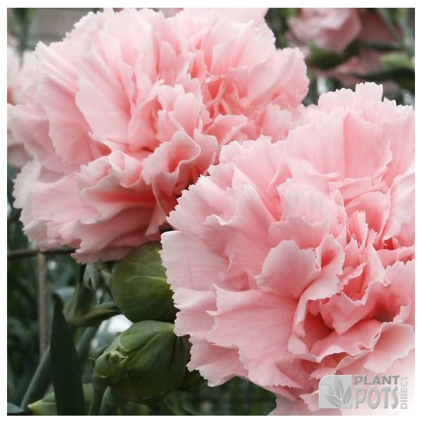 carnation giant chabaud mixed