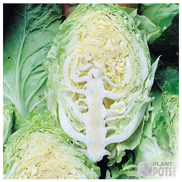 cabbage hispi f1 hybrid seeds