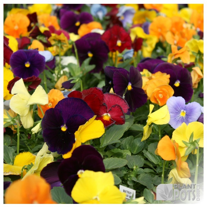 pansy winter flowering mixed seeds