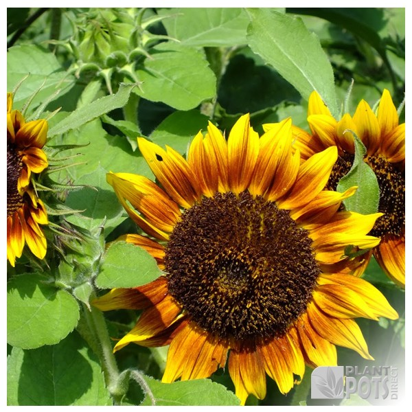 sunflower ring of fire seeds