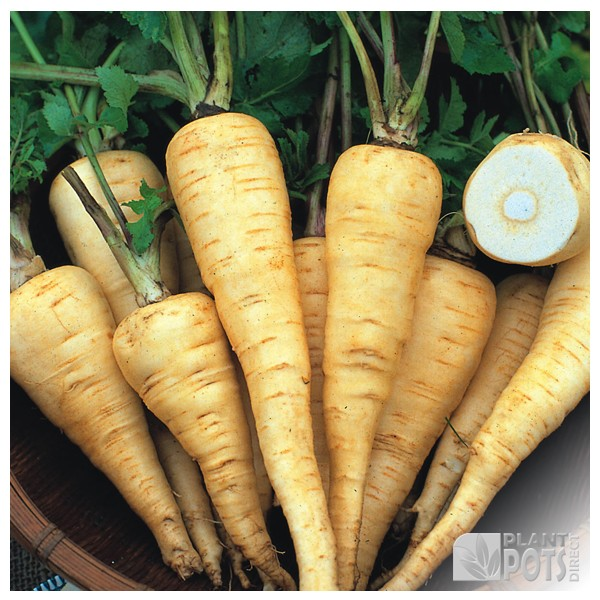 parsnip white king seeds