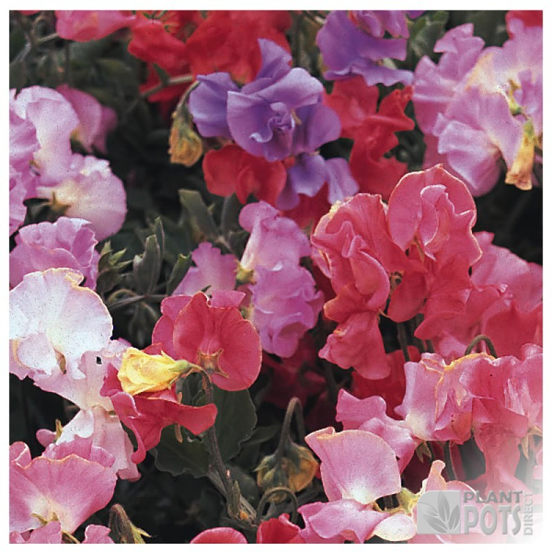 sweet pea perfume delight seeds