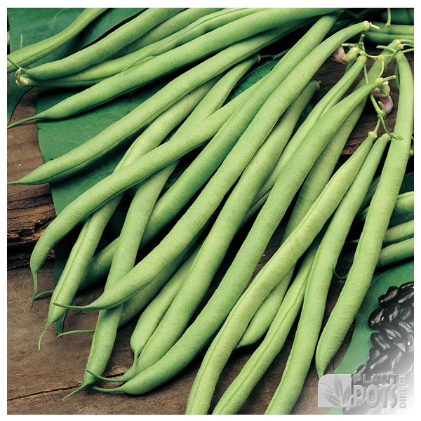 climbing french beans cobra seeds