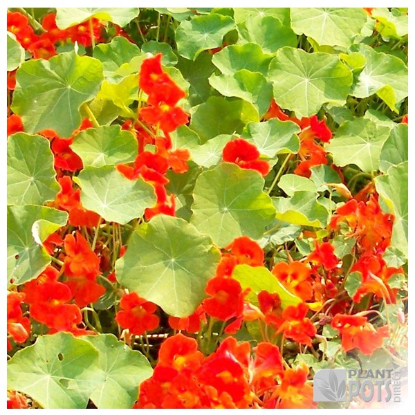 nasturtium tall single mixed seeds