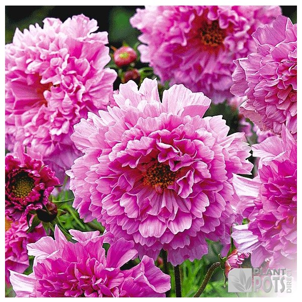 cosmos rose bon bon seeds