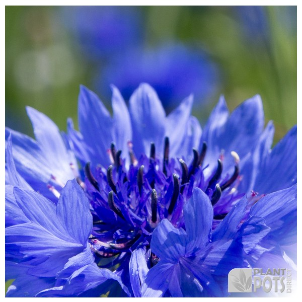 cornflower double blue seeds