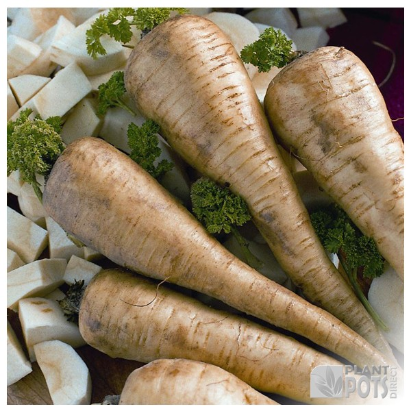 parsnip tender and true seeds