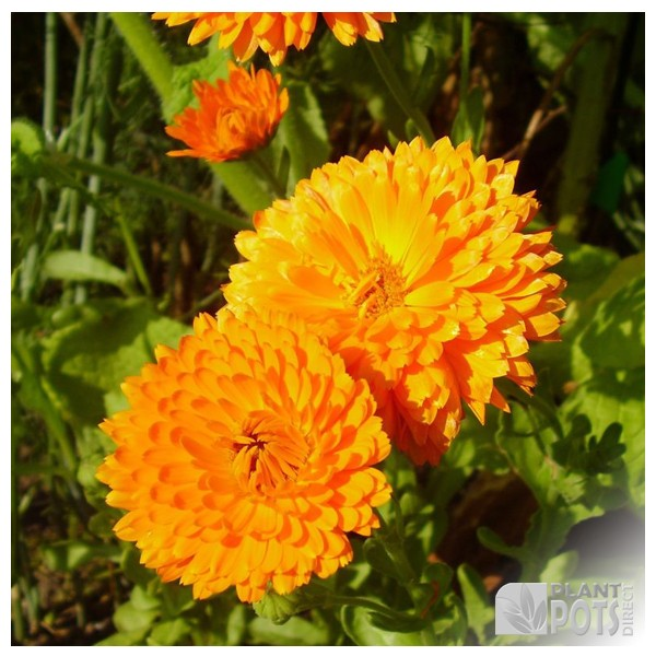 calendula orange king seeds
