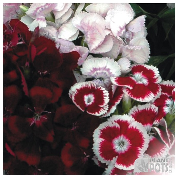 sweet william auricula eyed mixed seeds