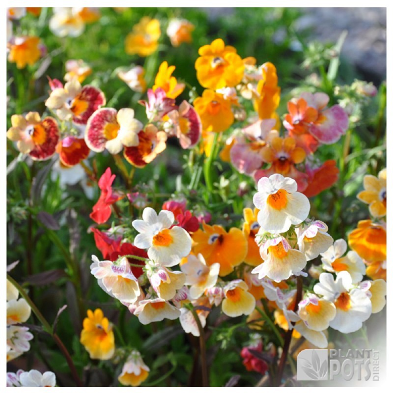 nemesia carnival mixed seeds