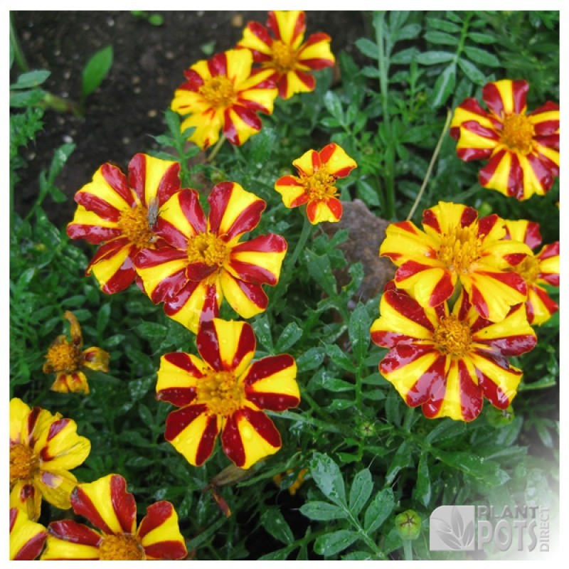 marigold mr majestic seeds