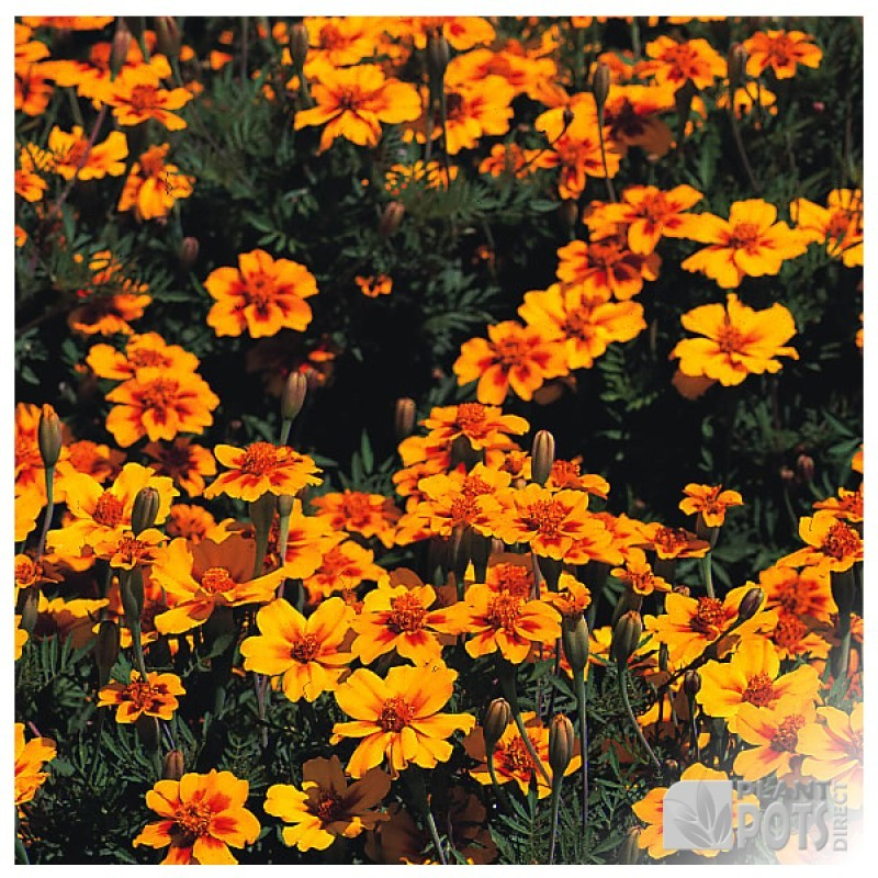 marigold french naughty marietta seeds