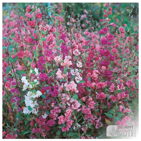 clarkia elegans double delight seeds