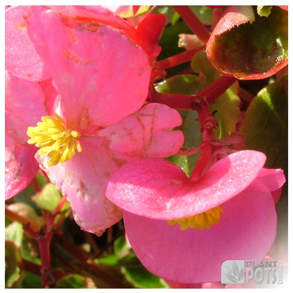 begonia sunshine carpet seeds
