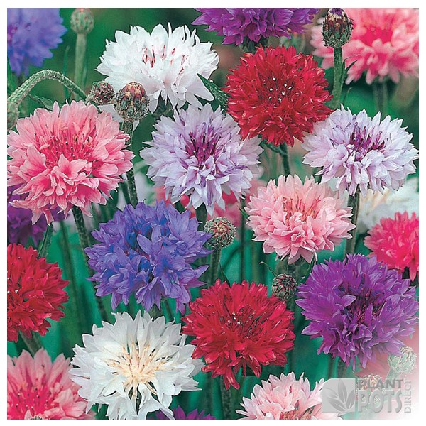 cornflower double mixed seeds