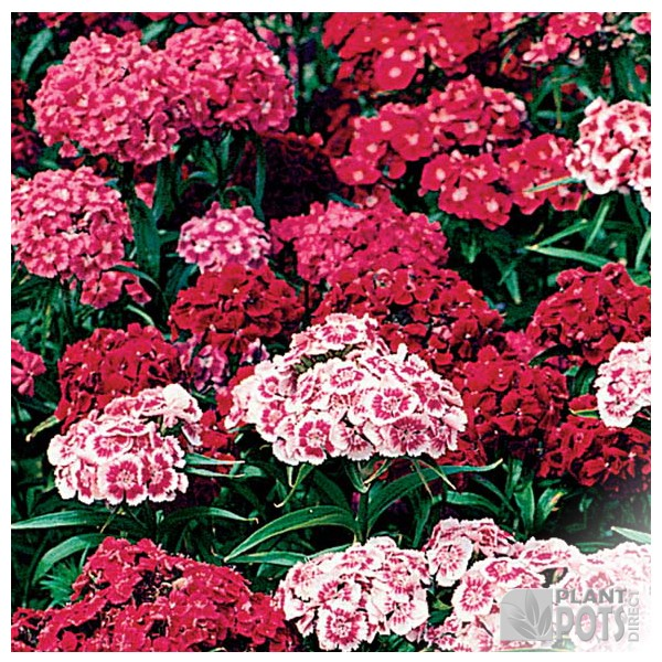 sweet william indian carpet seeds