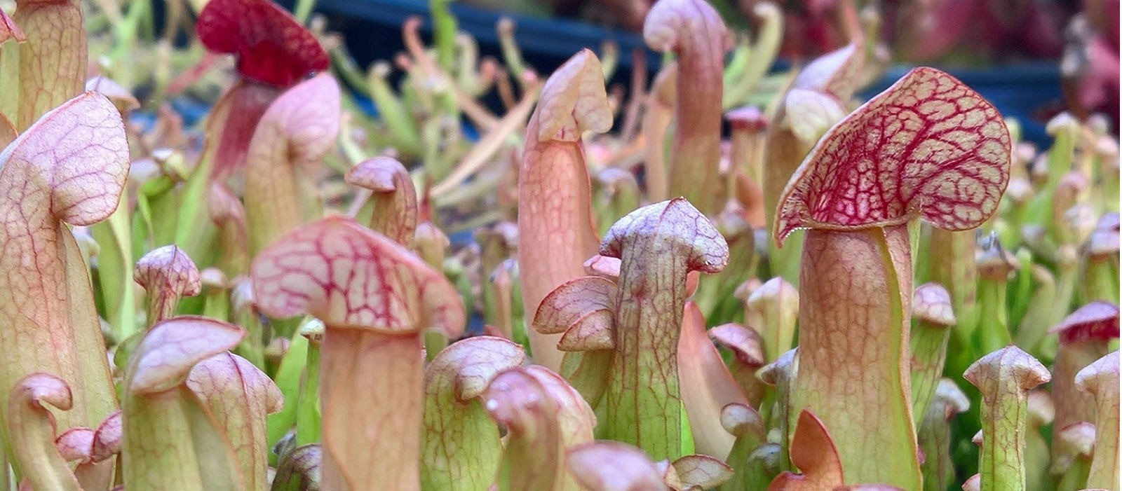 Sarracenia - North American Pitcher-Plants
