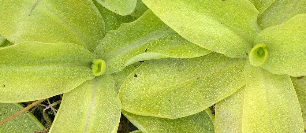 Pinguicula - Butterworts